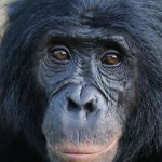 bonobo monkey face